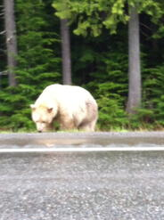 Spirit Bear on side of road