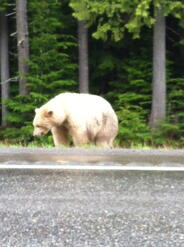 Spirit Bear on side of road 2