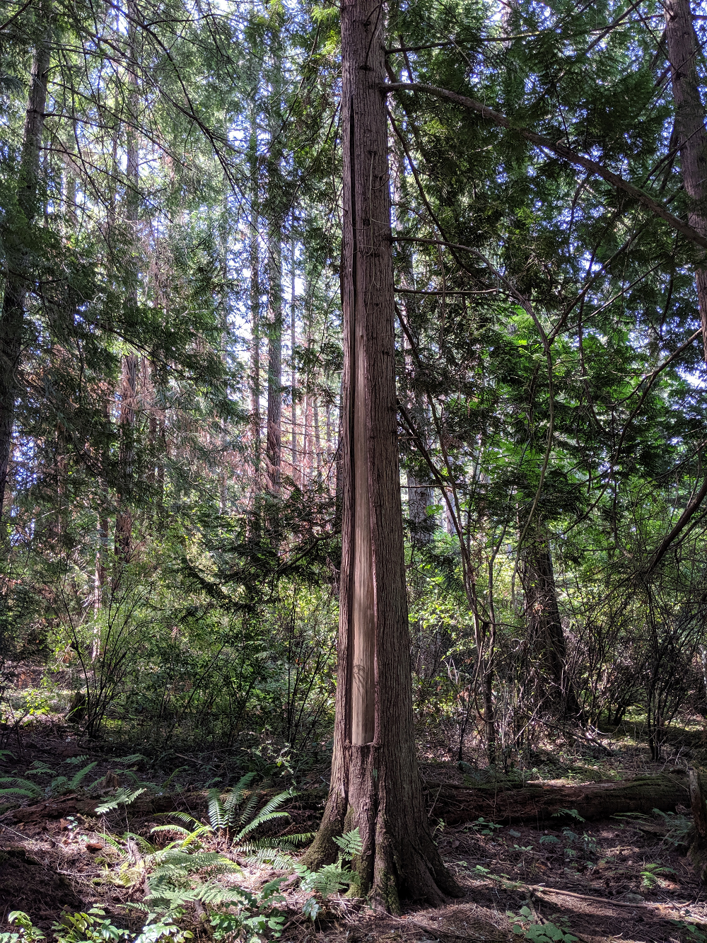 Indigenous-culturally-modified-trees