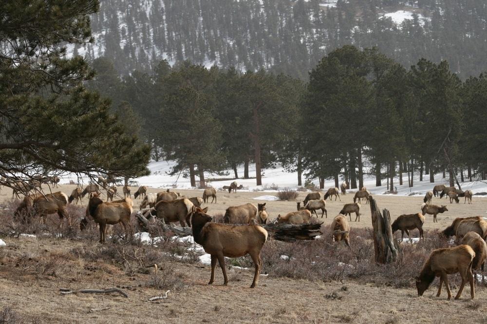 picture of elk